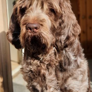 Amazing little Girl of three colour Beauty, meine Amy, mein Ruhepol, die weltbeste Hundetante für so viele Welpen, Du fehlst so sehr ... 16.04.2011 - 01.08.2020